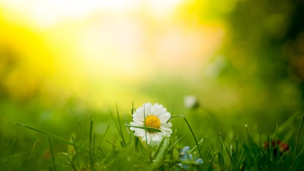sunshine on a lawn with a daisy